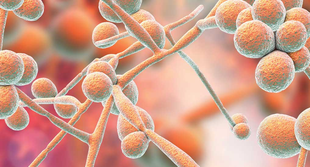 Candida infections in brain may impair memory
