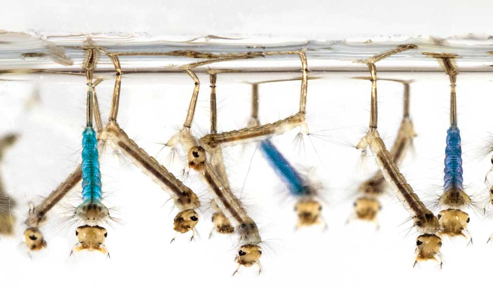 Gene drive mosquitoes to thwart malaria spread