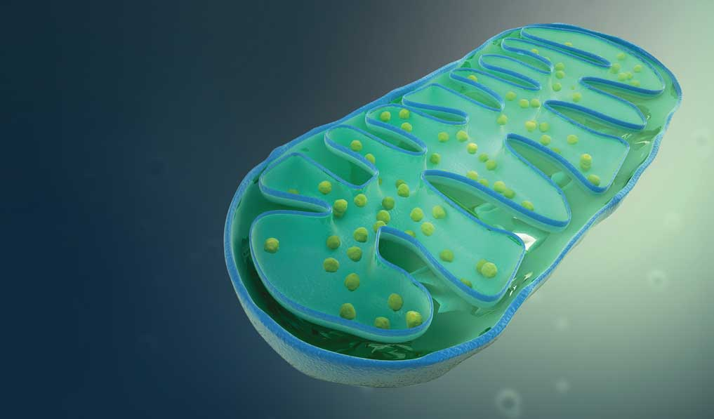 Removal of damaged mitochondria may stop inflammatory diseases