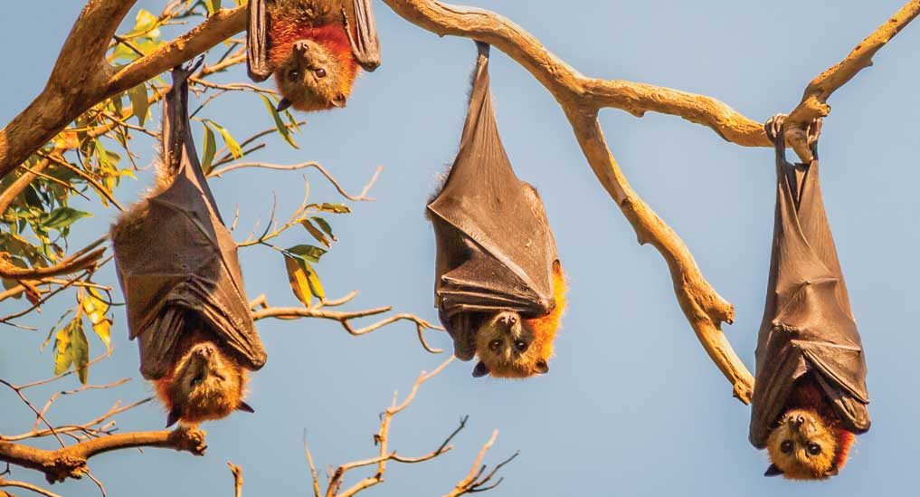 Confronting host bats — Difficult to impossible